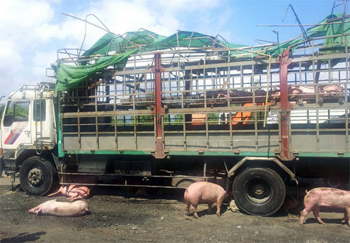 Quốc lộ 1A gần qua sông Cầu, Phú Yên. 11h17 phút, xe tải chở 152 con lợn bị lật trên đèo, gây ách tắc giao thông hơn 1 km. HƠn 30 con thương vong.