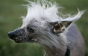The purebred Chinese crested dog Rascal is seen at the 2007 World's Ugliest Dog Contest, Friday, June 22, 2007, in Petaluma, Calif. (AP Photo/Ben Margot)