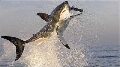 shark2-389340-1368811054_500x0.jpg