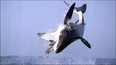 shark3-804410-1368811054_500x0.jpg