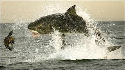 shark4-769915-1368811053_500x0.jpg