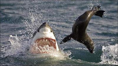 shark6-876945-1368811053_500x0.jpg
