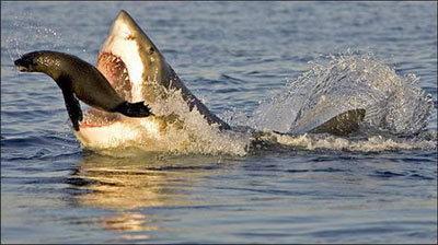 shark7-100281-1368811053_500x0.jpg