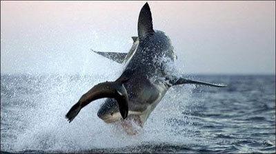 shark8-986381-1368811054_500x0.jpg