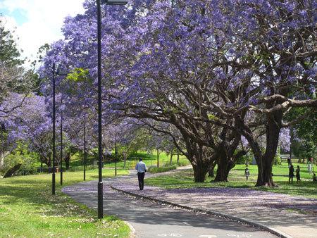 1. Khuôn viên trường Đại học Queensland trong thời điểm phượng tím nở rộ. Ở Australia, phượng tím còn được gọi là Jacaranda. Nhiều bạn rất bất ngờ khi biết Jacaranda chính là phượng tím vì ở Việt Nam không có nhiều nơi trồng được lọai cây này. Dù vậy vẻ đẹp của phượng tím vẫn được nhiều người nhắc đến và trở nên quen thuộc với chúng ta.