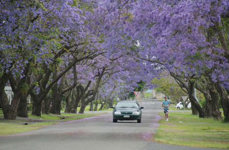 10. Phượng tím hai bên đường tạo nên một khung cảnh tuyệt đẹp ở thị trấn Grafton.