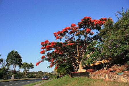 11. Mùa phượng tím chỉ kéo dài khoảng 4-6 tuần là kết thúc. Sau mùa phượng tím thì hoa phượng vĩ bắt đầu nở, lúc này thì thời tiết khá nóng vì đã vào mùa hè. Phượng vỹ ở Australia nở thành từng chùm rất lớn, đỏ rực một góc trời. Trong ảnh là một cây phượng vỹ ở thành phố biển Gold Coast, cách Brisbane 70km về phía nam, nơi đây là địa điểm du lịch ưa thích của người dân Australia.