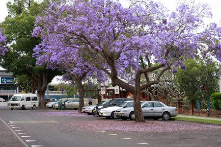 4. Một con đường ở thị trấn Grafton, bang New South Wales. Đây là một trong những nơi có nhiều cây Jacaranda nhất Australia và hằng năm đểu có lễ hội Jacaranda diễn ra ở đây.