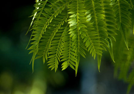 5. Khi chưa nở thì cây phượng tím trông khá giống phượng vĩ. Tuy nhiên lá phượng tím thường nhọn hơn phượng vĩ.