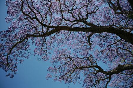 . Vào mùa hoa nở, lá phượng sẽ rụng hết nhường chỗ cho những chùm hoa rực rỡ. Trong ảnh là một cây phượng tím ở công viên New Farm Park, thành phố Brisbane.
