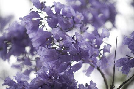 7. Hoa phượng tím thường nở thành từng chùm. Bông hoa có hình ống, dài khoảng một đốt ngón tay, cánh hoa mỏng và nhẹ tựa như hoa giấy.