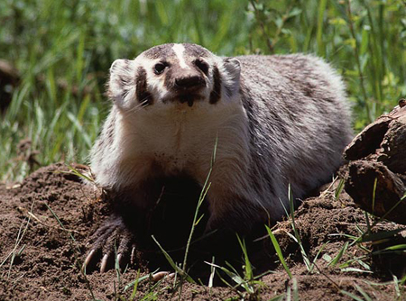 badger-picture2-556498-1368796783_500x0.