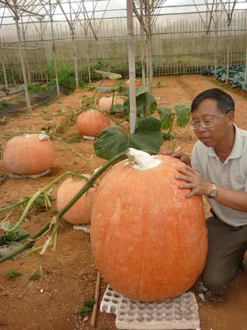 Vườn bí cho trái khổng lồ ở Đà Lạt. Ảnh: Quốc Dũng
