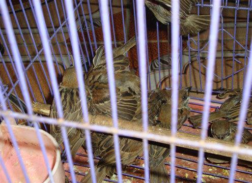 Những chủ chim sẻ được nuôi nhốt trong các lồng sắt để phục vụ các thực khách. ảnh: N.K