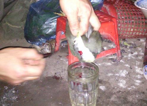 Một con chim Cuốc đang bị cắt huyết. ảnh: N.K