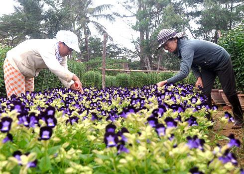 Ngay từ sáng sớm, tiết trời lạnh rét căm căm, nông dân các tỉnh miền Trung đã ra đồng cắt tỉa, chăm sóc các loài hoa: Cúc, Bonse, Hồng..để kịp bán trước tết Nguyên Đán sắp tới.