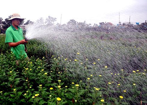 Cần mẫn tưới nước giữ ẩm cho hoa Cúc kịp bung nụ trước tết.