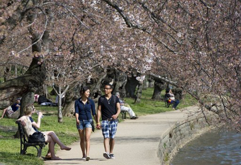 UNITED STATES, Washington : A man and a woman hold hands as they walk beneath cherry blossom trees adjacent to the Tidal Basin on the National Mall in Washington, DC, ON March 15, 2012. The iconic trees are beginning to bloom, with the National Park Service forecasting peak bloom between March 20 and 23, one of the earliest years on record due to warmer than average temperatures. AFP PHOTO / Saul LOEB