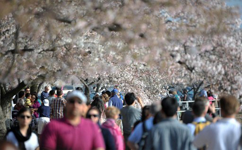 UNITED STATES, Washington : People enjoy the sunny day walk under the cherry blossom trees adjacent to the Tidal Basin on the National Mall in Washington, DC, on March 17, 2012. The iconic trees are beginning to bloom, with the National Park Service forecasting peak bloom between March 20 and 23, one of the earliest years on record due to warmer than average temperatures. AFP PHOTO/MLADEN ANTONOV