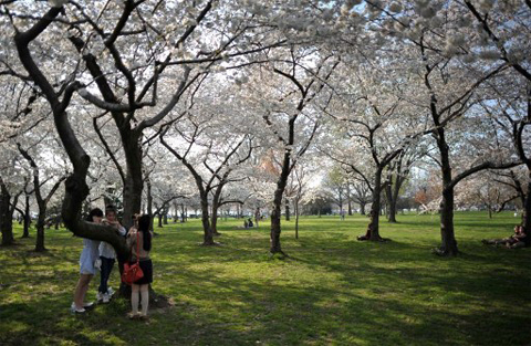 UNITED STATES, Washington : Japanese tourists take photos under the cherry blossom trees adjacent to the Tidal Basin on the National Mall in Washington, DC, on March 17, 2012. The iconic trees are beginning to bloom, with the National Park Service forecasting peak bloom between March 20 and 23, one of the earliest years on record due to warmer than average temperatures. AFP PHOTO/MLADEN ANTONOV