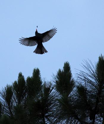 Ảnh 1: Chim Cành Cạch đen đang bắt mồi