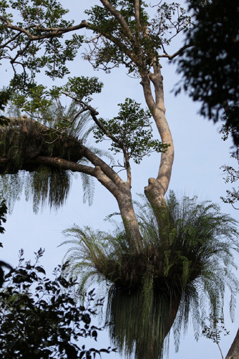 Ảnh 10: Cây thực vật cộng sinh trong vườn Quốc gia Chư yang sin