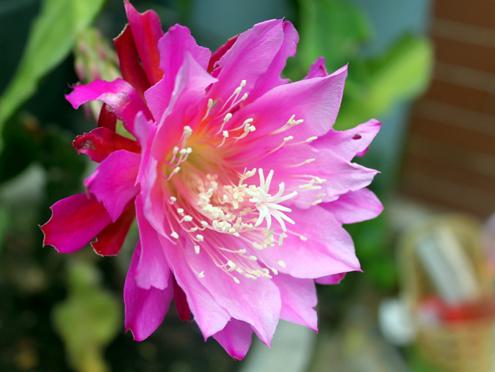 Nếu như Quỳnh Hương màu trắng, nở một đêm, có hương thơm, thì Nhật Quỳnh có nhiều màu, không thơm, nở nhiều ngày chưa tàn