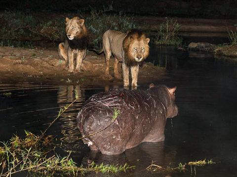 Những vết xước mà cặp sư tử tạo ra trên lưng hà mã. Con hà mã đứng trong vũng nước tới tận đêm để không bị thoát khỏi sự tấn công.