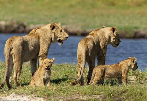 Những con sư tử cái quan sát dòng nước khi chúng dẫn đàn sư tử con tới bờ sông thuộc vùng châu thổ