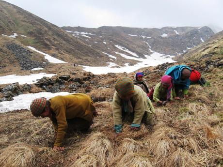 Hàng nghìn người dân Nepal tìm kiếm nấm