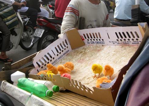 Gà con nhiều màu sắc bán trên đường Trường Chinh, quận Tân Bình, TP HCM. Ảnh: Xuân Hường.