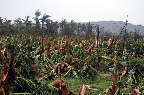 Banana trees destroyed by Typhoon Bopha are seen at a plantation in Compostela town, Compostela Valley province, in southern island of Mindanao Ảnh: AFP