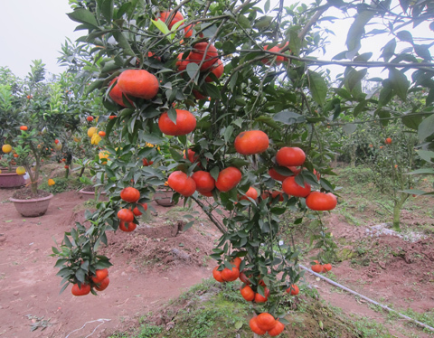 Cây cam trĩu nặng quả với màu sắc rất đẹp