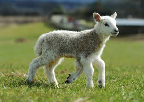 Cừu Quinto sinh hoạt và di chuyển bình thường dù nó có tới 5 chân.