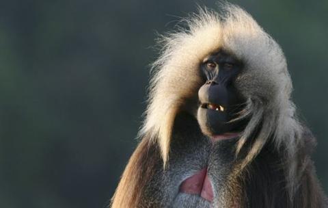hỉ Gelada là loại khỉ duy nhất chép môi khi giao tiếp. Ảnh: BBC.