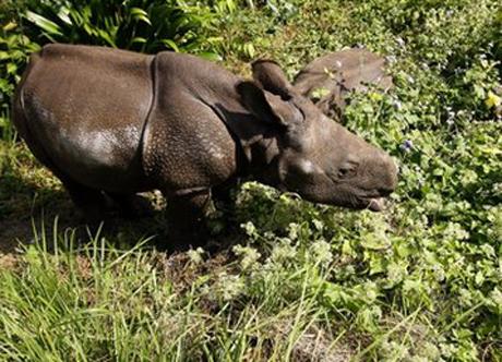 Số lượng tê giác trong vườn quốc gia Chitwan tăng thêm 500 con