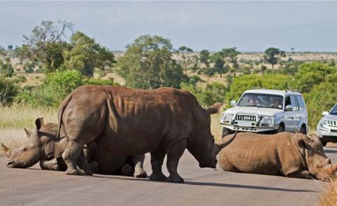 Ba con tê giác, bao gồm một tê giác đực trưởng thành và hai con cái tình cơ nằm xuống đường, khiến các ô tô không đi tiếp, gây ách tắc giao thông