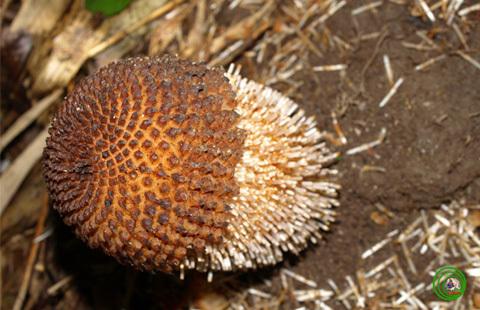 Đầu chuỳ Rhopalocnemis phalloides