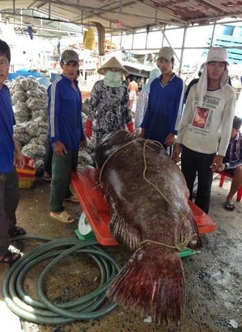 Con cá bống mú nặng 250,5kg. Ảnh Nguyễn Vũ Linh
