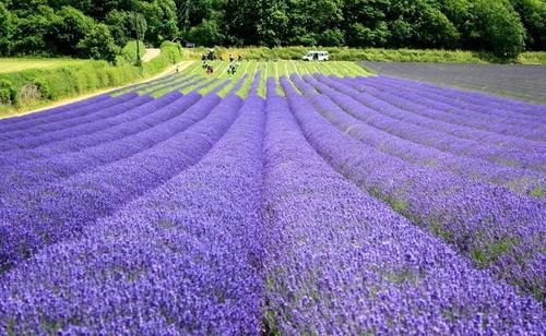 Hoa oải hương được coi là một trong những loài thảo mộc thiêng liêng nhất của mùa hè. Trà làm từ những bông hoa này có tác dụng làm dịu cơn đau đầu và nước rửa mặt từ hoa giúp chống mụn.