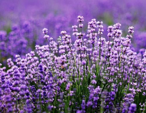 Màu tím của hoa nổi bật trên nền trời quanh năm xanh ngắt của Tân Cương tạo nên những mảng màu đậm nét.