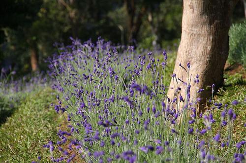 Hoa oải hương được trồng nhiều nhất, chạy dọc hai bên con đường mòn dẫn lối vào rừng và các khu vườn xung quanh tòa nhà trung tâm.
