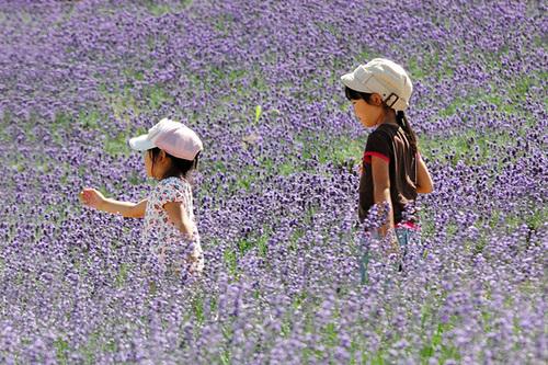 Vào dịp cuối tuần, các gia đình thường đưa con em về chơi trong vườn, vừa nghỉ ngơi vừa thoải mái chụp ảnh với hoa. Hoa oải hương và các loài hoa khác cùng đua nhau khoe sắc.