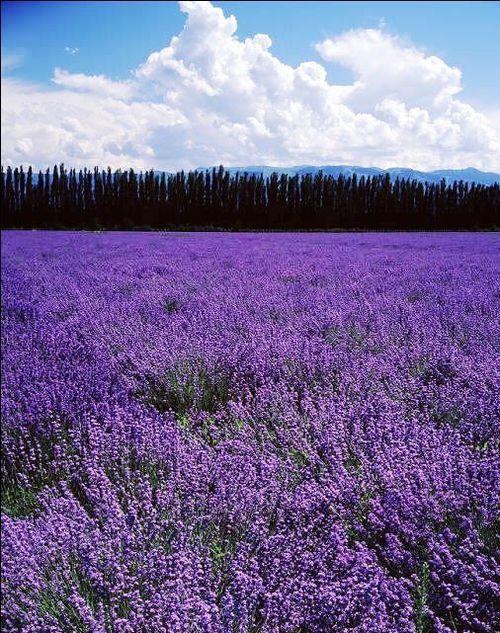 Tháng 7, những cánh đồng hoa oải hương nở rộ trên mọi cánh đồng trong thung lũng Y Lê, tạo nên khung cảnh tuyệt đẹp cho Tân Cương.