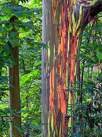hế giới biết đến hòn đảo Hawaii (Mỹ) không chỉ vì nơi đây có cảnh đẹp tráng lệ mà còn bởi một loài cây thân gỗ đỏm dáng nhất trong thế giới thực vật.