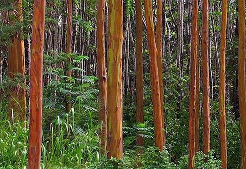 Nếu ai đã từng ngắm nhìn loài cây này thì đều không thể quên bởi những màu sắc sống động, rực rỡ trên thân cây.