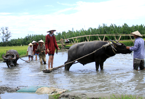 Tây cưỡi trâu, cày ruộng ở Việt Nam