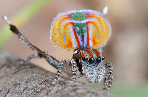 Chú nhện công đầu tiên được nhà nghiên cứu Otto thực hiện Video theo dõi điệu nhảy gợi tình. Ảnh: Jürgen Otto