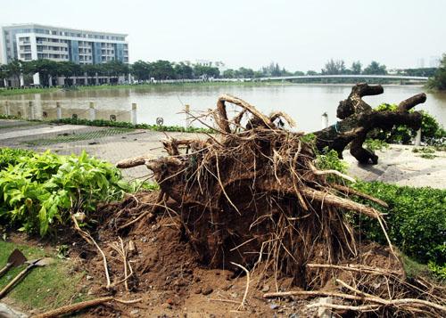 Ngoài đường Nguyễn Văn Linh có nhiều cây điệp bị bật gốc, ở khu vực đường Nguyễn Lương Bằng, Mỹ Viên, Mỹ Cảnh, Mỹ Phú...hàng loạt cây xanh bật gốc. Trong ảnh là một cây xanh ở  cầu Ánh Sao ở hồ Bán Nguyệt