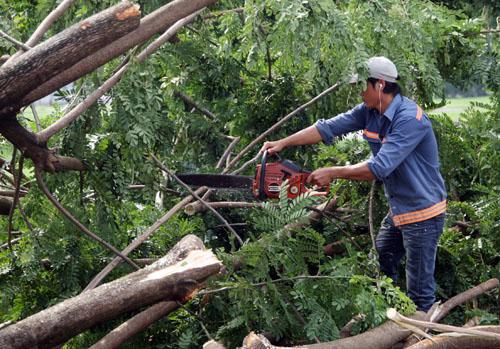 Nhân viên cây xanh Phú Mỹ Hưng cho biết, ở khu vực nội ô của khu đô thị này có cả trăm cây bật gốc. Từ đối qua đến nay, các đội nhân viên chia nhau đi xử lý nhưng không xuể.